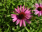 Echinacea purpurea (Magnus)